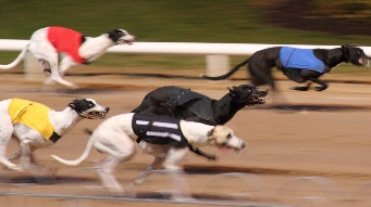 Greyhounds racing